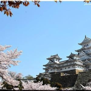 姫路城の桜 2