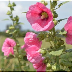 コケコッコ花 2