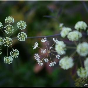 ドクセリの花 (せり科)
