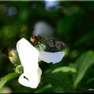 ムクゲの花に蜻蛉