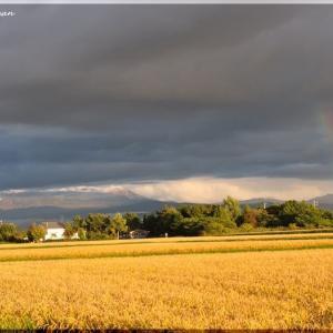 稲刈りと虹