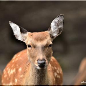 鹿の声きく時ぞ秋は悲しき