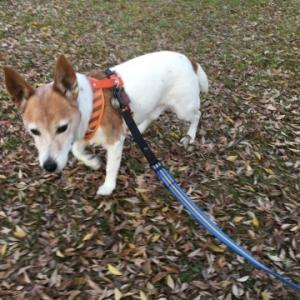 ジャックラッセルテリア シニア犬 16歳の備忘録