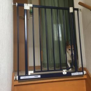ジャックラッセル シニア犬  安全の為にベビーゲートを設置  そしたらピンチが、、