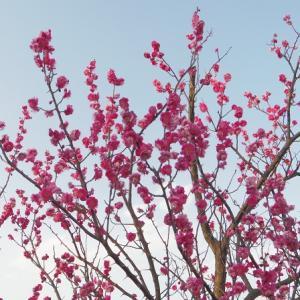 梅が咲いてた