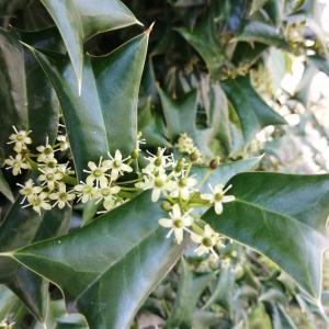 枸骨樹:ヒイラギモチの花が満開