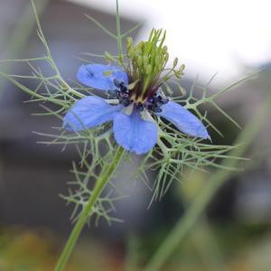 瑠璃色の花~ニゲラ