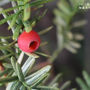 梅雨頃に見かけた伽羅木の赤い実