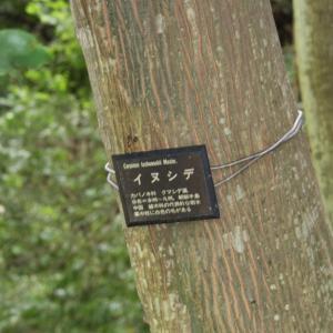 イヌシデの多い花島公園(千葉)