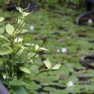 【三白草】~池の畔の半夏生(ハンゲショウ)
