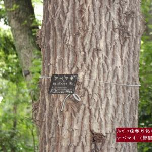 『茶経』中の植物①アベマキ:『櫪樹』