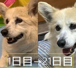 老犬コーギーPちゃんの変化
