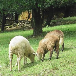 羊はなんと言った?