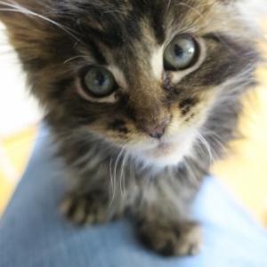 シツコイほど懐っこいメインクーンの仔猫&我が家出身メインクーンズ