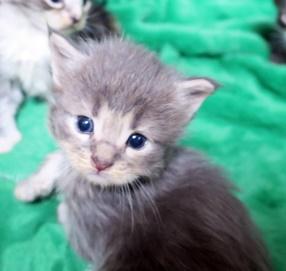 昨日で生後3週間になりました。メインクーンの子猫達