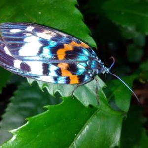 もっとも美しい蛾の一つ
