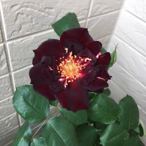 黒きバラの香りは?