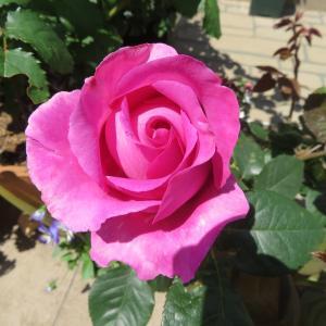 紫の薔薇に癒されて