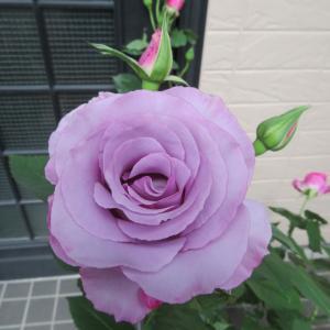 好きなバラ?えこひいきで紫な薔薇