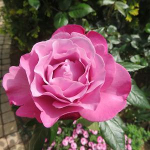 庭のメインは紫のバラ ミュリエルロバン カインダブルー ムーンシャドウ・・・