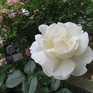 白き薔薇一つ清らかに咲く パブロワ・・・