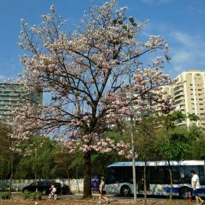 ブラジルの桜 日本の薔薇