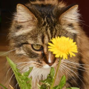 今年初咲きのタンポポと猫