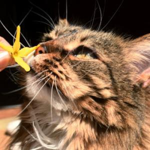 レンギョウの花に、ため息をつく猫