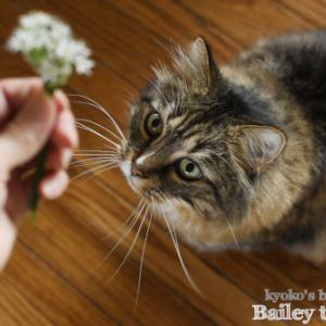 ニラの花をBaileyに見せたら