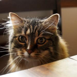 食卓でチキンを堪能する猫