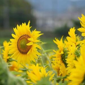 向日葵で小さな幸せ
