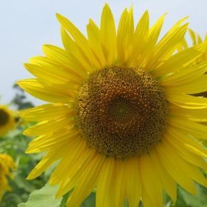 真夏のお写ん歩*8月の向日葵