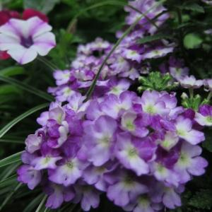 7月の花たちのお世話