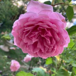 暑い中咲くバラ