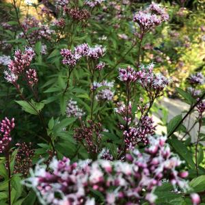 今朝の開花藤袴、多肉植物、サハラ、ウィザー、ヌーベルヴァーグ
