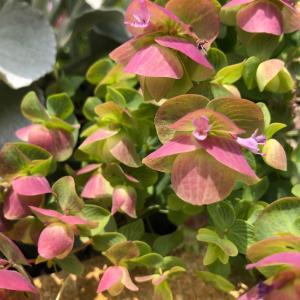 庭の開花、コケモモ、モナルダ、オレガノ、テイカカズラ雨上がりの薬剤散布