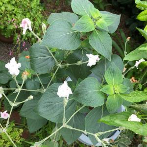 雨の庭リクニス、ミニトマト、