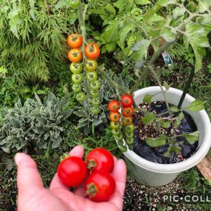 ミニトマトの収穫開始、ジニア、モナルダ、セントランサス