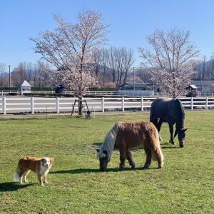 お馬さんと桜と山と
