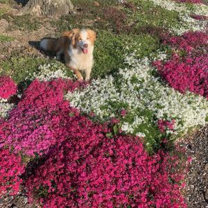 桃の花と菜の花と芝桜
