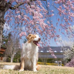 愛しの枝垂れ桜