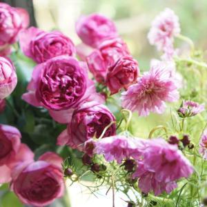 秋薔薇とコスモスとご縁