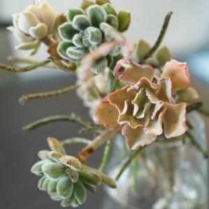 多肉植物のブーケドマリエ.yspdアヴァンセ
