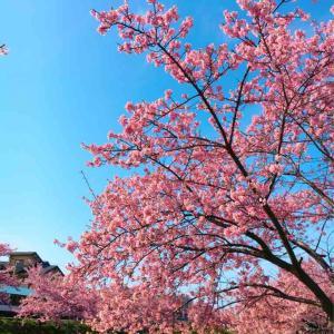 恒例の河津桜