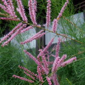 ギョリュウの花が可愛く見えるとき