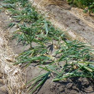 タマネギとニンニクの小収穫…