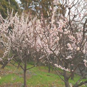 井の頭公園の梅と、オカダヤゴム不要マスク