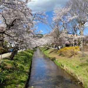 忍野八海は桜が満開でした!
