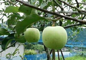 リンゴの袋かけ替えをしました