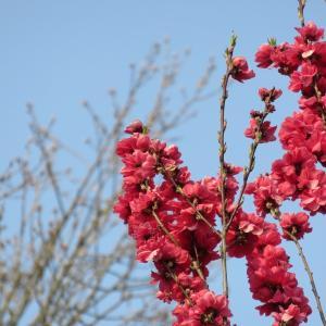 桜、週末もきっと満開。